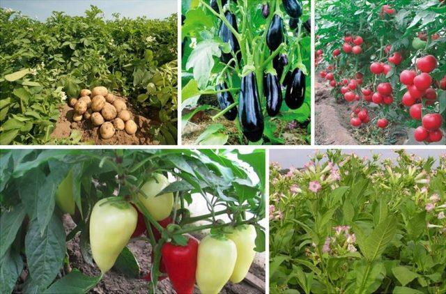 Баклажан Халиф: характеристика сорта, особенности выращивания и хранения