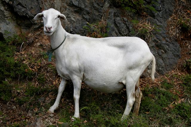 Случка овец: начало охоты, техники, правила спаривания и признаки беременности