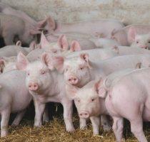 Разведение свиней в домашних условиях: правила ухода, полезные советы начинающим