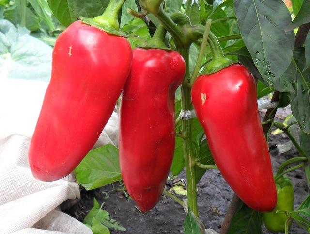 Перец Воловье ухо: описание сорта, фото, выращивание, отзывы