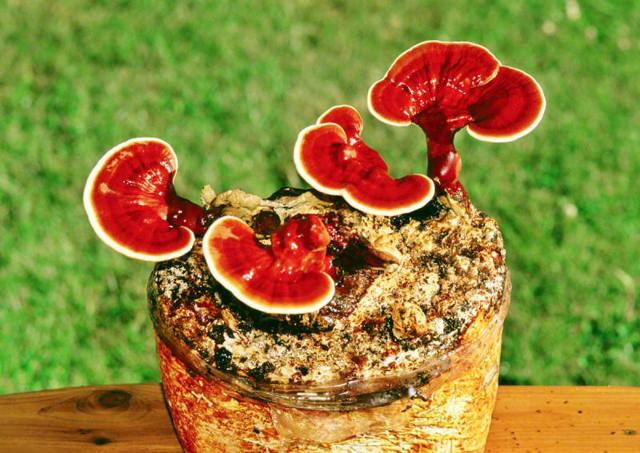 Грибы рейши (трутовик лакированный, ганодерма, линчжи): описание, польза, выращивание