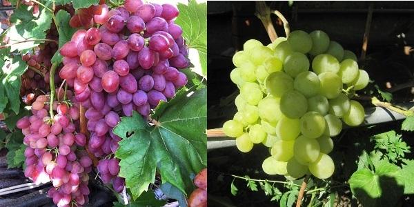 Виноград Ландыш: описание сорта, фото, плюсы и минусы винограда, отзывы, посадка и уход
