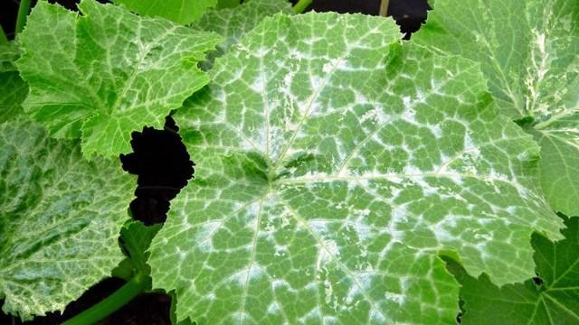 Почему у огурцов белеют листья и что делать: причины, лечение и профилактика