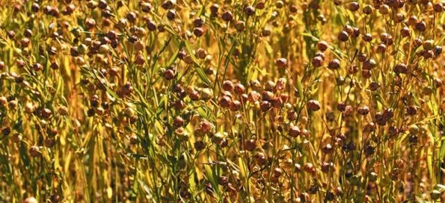 Лён: описание, выращивание, уход, сорта, сбор урожая