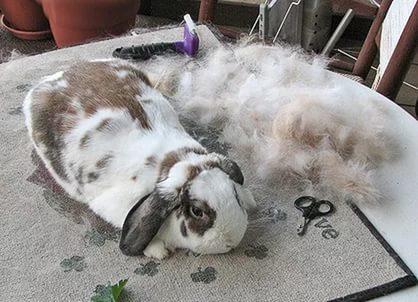Спаривание и случка кроликов: правила кролиководства, возраст, выбор крольчихи