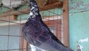 Английские типплеры: описание породы голубей с фото, правила их содержания и ухода