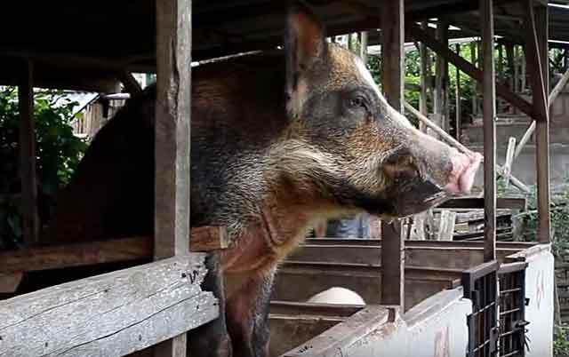Миргородская порода свиней: характеристика, фото, особенности содержания, плюсы и минусы