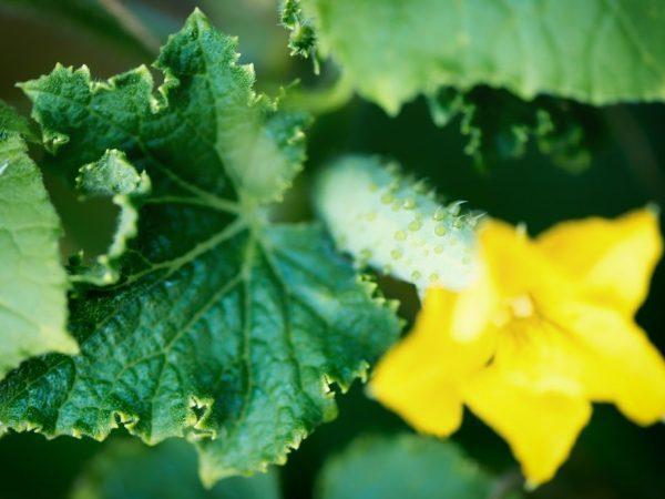 Огурец Кибрия: описание сорта, фото, правила посадки и ухода за кустом, сбор урожая