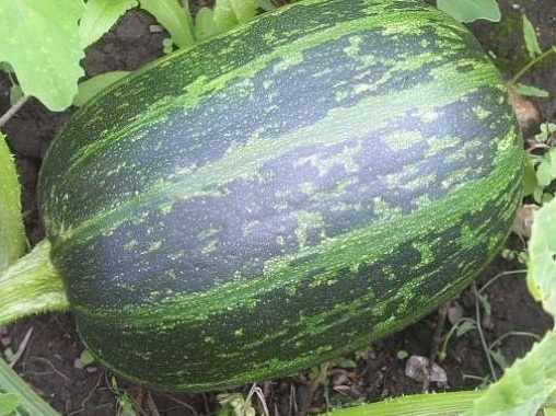 Тыква Атлант: описание сорта, правила выращивания, фото, отзывы
