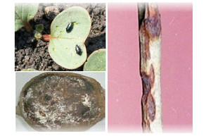 Болезни и вредители редьки: признаки, фото, профилактика, лечение
