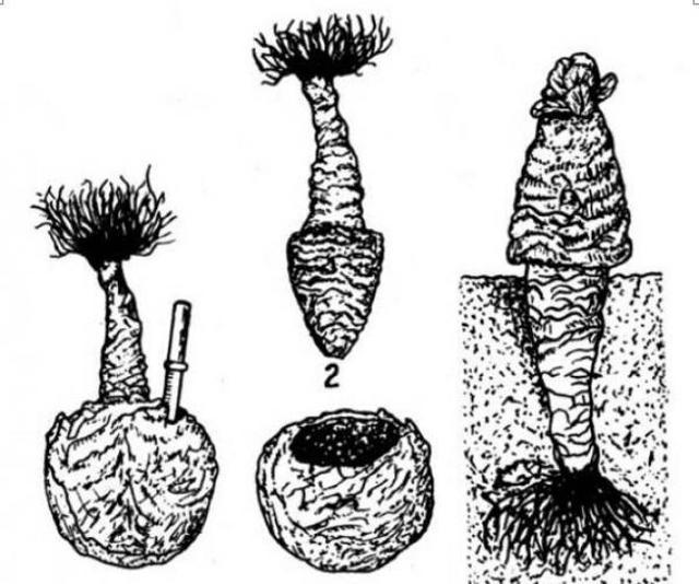 Капуста Подарок: описание сорта, плюсы и минусы, агротехника, отзывы