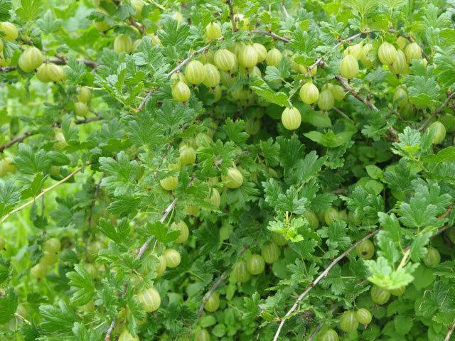 Крыжовник Родник: описание сорта, фото, отзывы, особенности посадки и выращивания