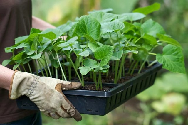 Как сажать огурцы на рассаду: подготовка семян, техника посева и выращивания