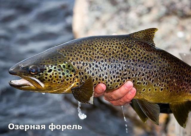Рипус: описание рыбы с фото, обитание, питание, нерест, рыбалка и разведение