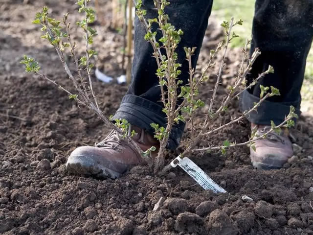 Крыжовник Командор: описание сорта, фото, правила посадки и ухода, отзывы садоводов