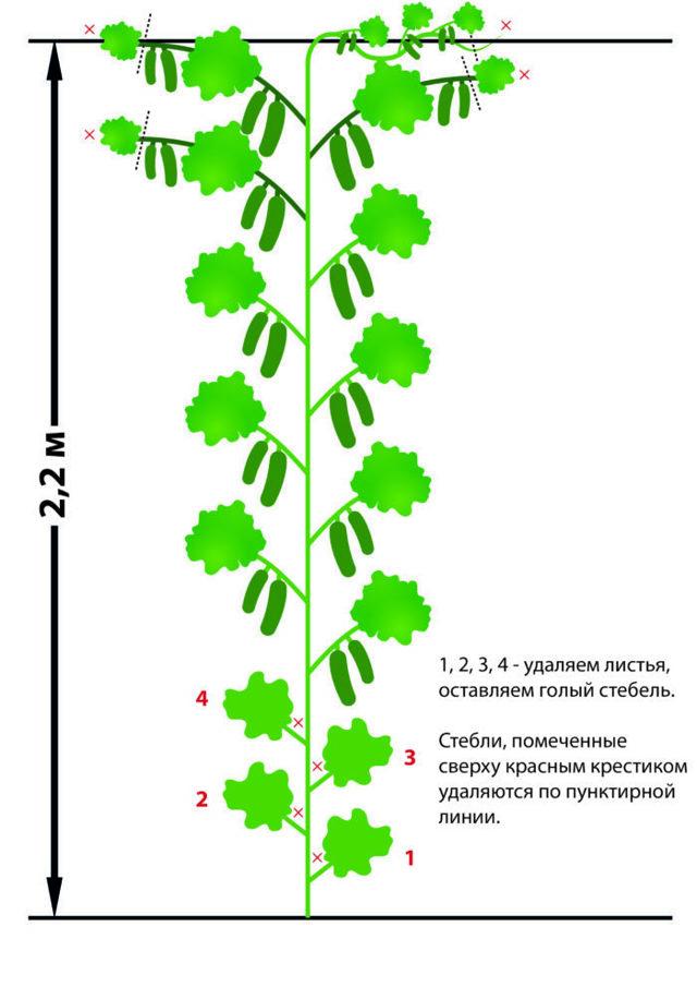 Лучшие сорта огурцов корнишонов: названия, фото, описание, сравнительная таблица