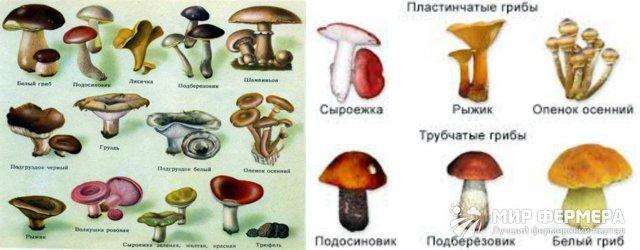 Грибы средней полосы России (съедобные и несъедобные): их фото, описание, где и когда растут