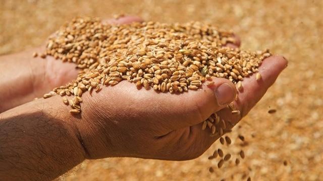 Фуражная пшеница: характеристики, применение, хранение