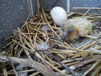 Где голуби прячут своих птенцов и почему?