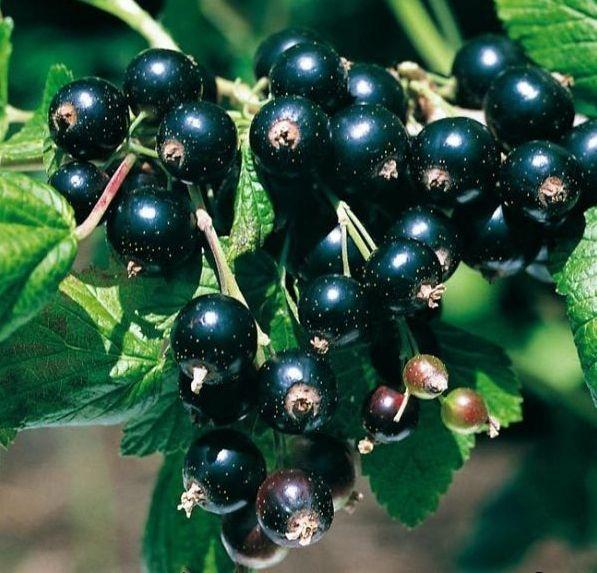 Черная смородина: посадка и уход, лучшие сорта и правила выращивания
