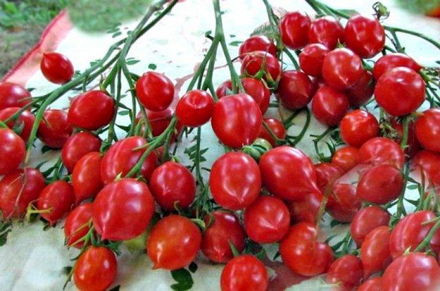 Томат Поцелуй герани (geranium kiss): характеристики и описание с фото, посадка и уход