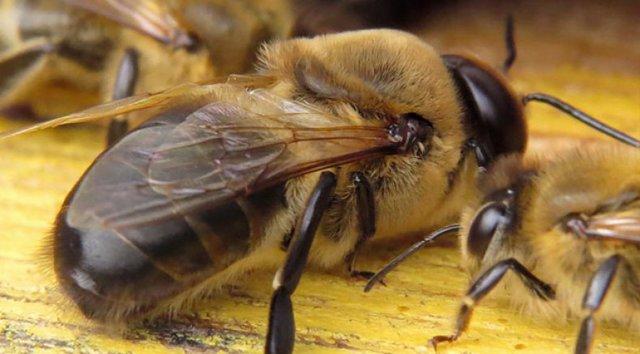 Медоносная пчела: описание, особенности строения, жизненный цикл, содержание и уход