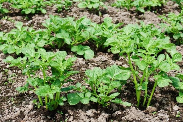 Как сажать картофель под лопату: пошаговая инструкция (подготовка, уход, сбор урожая)