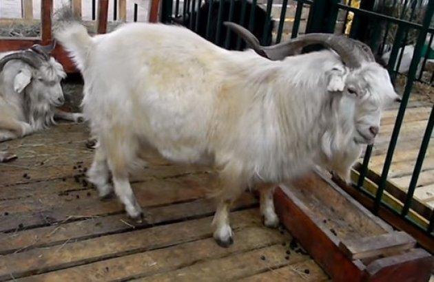 Мясные породы коз: описание, фото и сравнение продуктивности