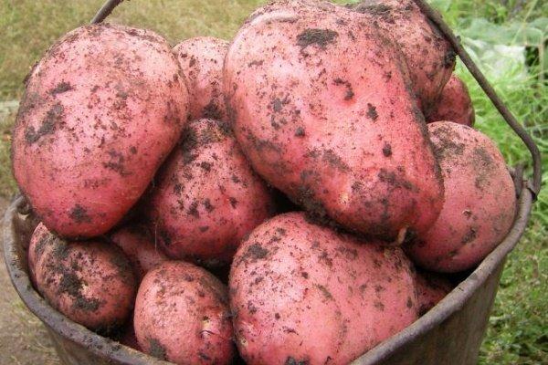 Голландская технология выращивания картофеля: особенности, условия и требования