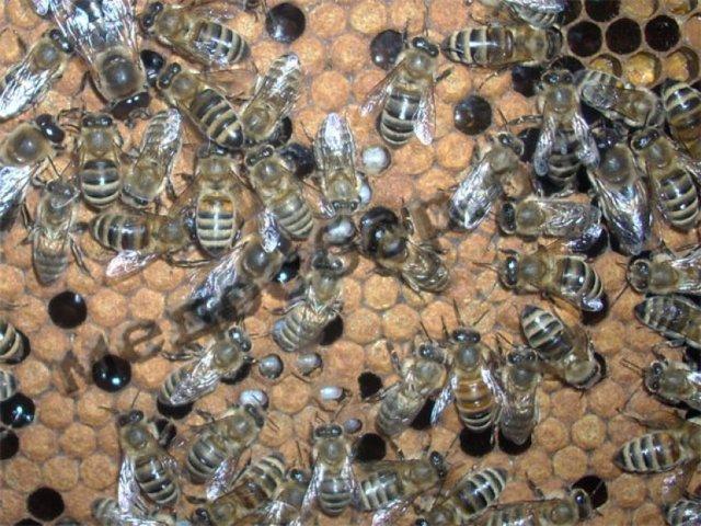 Аскосфероз пчел: причины, симптомы, лечение, профилактика