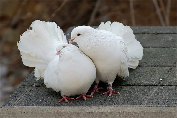 Разведение голубей: требования к содержанию, спаривание, гнездование, инкубация, кормление