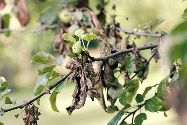 Болезни груши: описание, фото, лечение и профилактика