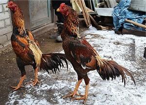 Бойцовские породы кур (бойцовые петухи): характеристика и особенности