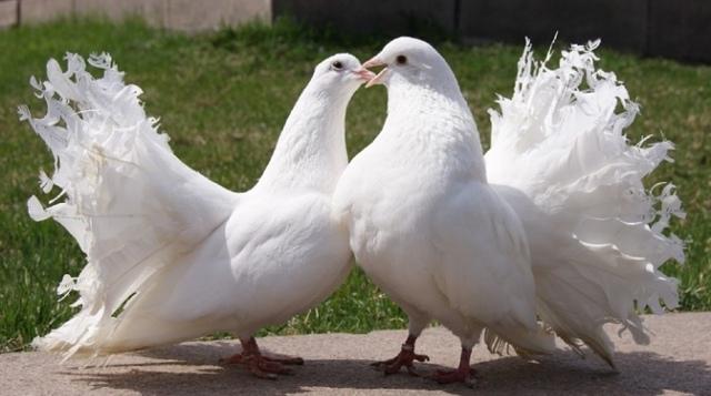 Павлиний голубь: описание и характеристики, фото, правила содержания, болезни и содержание