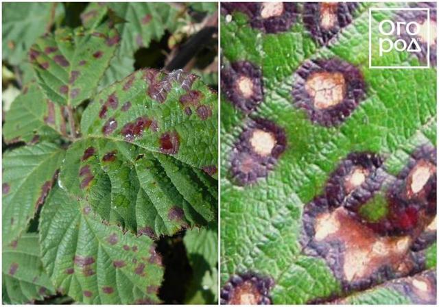 Болезни и вредители смородины: описание, фото, борьба с ними