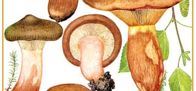Гриб свинушка: ядовит или нет, где растет, виды, симптомы отравления