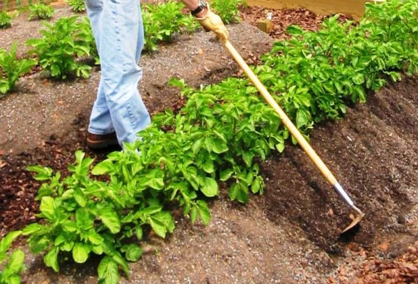 Картофель Ласунок: описание и особенности сорта, выращивание, уход