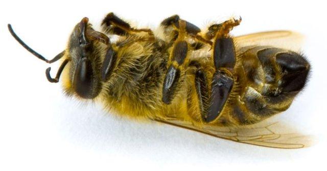Подмор пчелиный: состав, полезные свойства, сбор, применение
