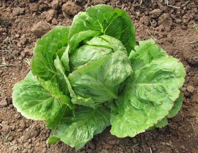 Салат айсберг: выращивание из семян, описание посадки и ухода, отзывы