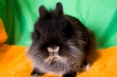 Львиноголовый кролик: описание и характеристики породы, фото, содержание и уход, отзывы