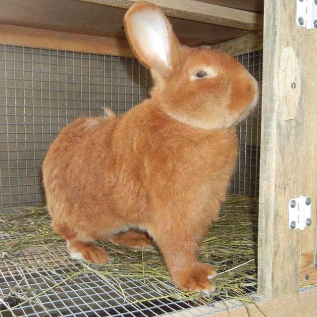 Бургундский кролик: стандарты породы, правила содержания, плюсы и минусы, отзывы