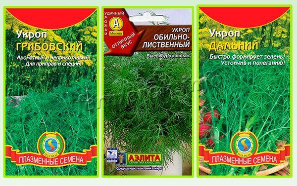 Укроп Грибовский: описание сорта, фото и выращивание