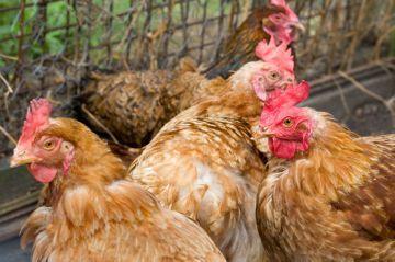 Антибиотики для кур: как и когда применять препараты