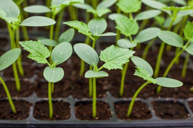 Огурец Амур: описание сорта, фото, правила посадки и ухода за кустом, сбор урожая