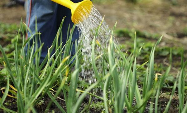 Почему желтеет чеснок весной: причины и что делать