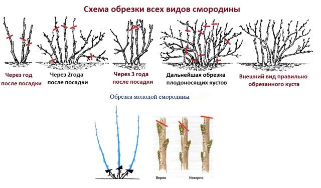 Смородина Экзотика: описание сорта, фото, селекция, посадка, размножение, отзывы