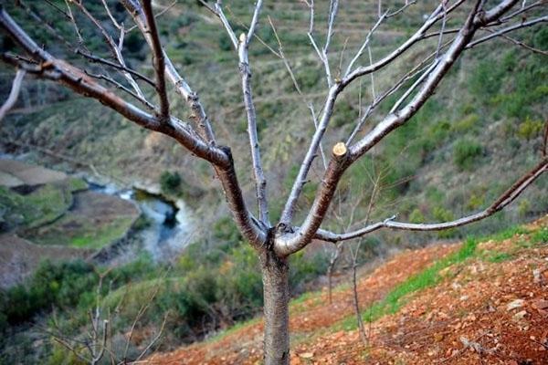 Посадка черешни осенью: пошаговые инструкции и последующий уход