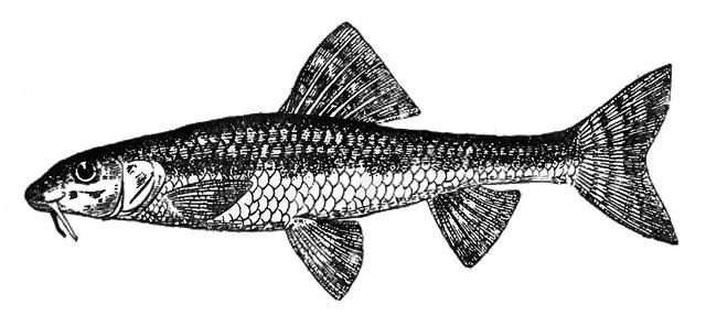 Сорная рыба: виды и особенности, достоинства и недостатки