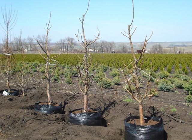 Посадка вишни осенью: правила и пошаговые инструкции