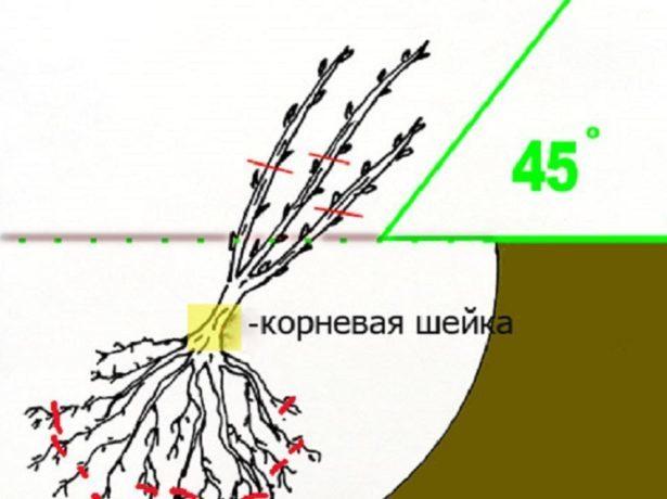 Смородина Ядреная: описание сорта, фото, выращивание, отзывы, достоинства и недостатки